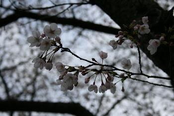 芸坂桜も花開きました!!