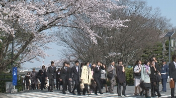 芸坂桜も入学を祝して満開になりました!!